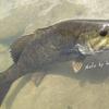 夏の川スモールマウス 増水のマディリバー