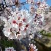 【奈良県】ただただ去年のきれいな桜を貼る。