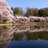 室山池の桜。