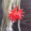 猫のしっぽの花