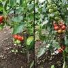 中玉トマト栽培記録 (11~12週間)