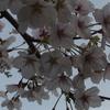 鎌倉の桜は満開です