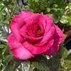 情熱の薔薇(ヴィウーローズ)