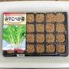 プラグトレイで「山東菜(べか菜)」を再栽培。今度は収穫時期をきちんと守ります