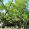 昌慶宮の木