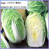 白菜基本情報2    1. 白菜は白くない? 現在の主流は黄芯白菜.市場を席巻するようになったのは,1980年代になってからのことだそうです.「ハクサイは白いから白菜なんだ」と言っていた種苗会社も,こぞって黄色いハクサイを育成しています.2.白菜の栄養  「白菜には目立った栄養素はない」と言われていますが,「野菜に期待される栄養素は,まんべんなくもっている」  「大量に食べることが出来る」     この二つの利点を忘れてはいけないように思います.