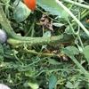 トマト畑を解体した(9/17の日記)