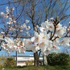 前期開始、冷桜、バーガーキング