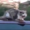 【速報】時速97キロのバンの屋根に乗った猫(啼き声付き動画あり) / Cat On Top Of Van (Video with meow)