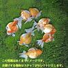 【金魚宝典】ピンポンパール(Mサイズ) 当才(3cm±)3匹セット☆スタッフがセレクトします!☆
