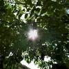 風にそよぐシマトネリコを動画で紹介。シンボルツリーでお悩みの方へ。