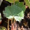 レディスマントルの葉の露