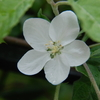 2013/04/23 リンゴの花もそろそろお終い