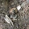 土を掘っていたらセミの幼虫に出会いました。