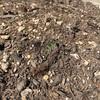 ジャガイモの芽が出た!!
