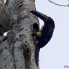 ベリーズ メイフラワー・ボカウイーナ国立公園のカラード アラカリ