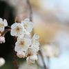 【1日1写真】3月中旬だけど咲いていた「桜」横浜 山下公園