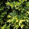斑入りの植物 3