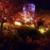 松田山ハーブガーデンの菜の花&早咲き桜、ライトアップ開始しました