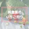 【秩父観光】子供にも安心な減農薬のいちご狩り!