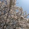 桜舞い散る、心も乱れる