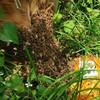 3密はミツバチもお嫌い