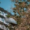 飛び出そうとして羽根を広げた五位鷺