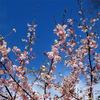 公園の寒桜