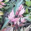 庭のにんにくに追肥・ふきのとうの佃煮風