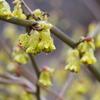 犬寄峠の黄色い丘&大宝寺のうば桜の開花は?