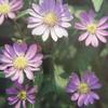 4月11日誕生日の花と花言葉歌句