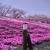【桜便り】荒川土手の桜と芝桜