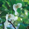 今日の誕生花「ハンカチノキ」ハンカチがぶら下がってるように見える木の花!