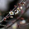 小鳥の森:梅もチラホラ。白梅が先かな…