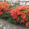 富士見団地のつつじ、咲いています!(4月4日)