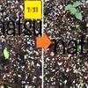 【畑日記 秋どれ胡瓜】じかまき栽培方法を調べてまとめてみました^^