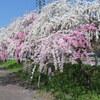 【行ってみた】岐阜県明宝の小川の花桃、駐車所や見頃、立ち寄りスポットを紹介