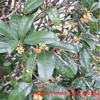 キンモクセイの香りと残った柿の実