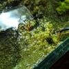 ヤマトヌマエビ、茶ゴケとアオミドロのついでに藍藻もがっつり食べてくれました^^