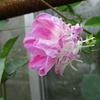 「まつこの庭」に咲く夏のつる植物の花