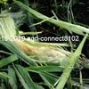 トウモロコシの収穫と動物による被害