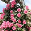 【アラ還さんぽ】薔薇薔薇...という感じ。の「大船フラワーセンター」