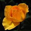 市川市動植物園のバラ「インカ」