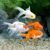 (国産金魚)飯田金魚ミックス(1匹)