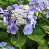 そろそろ紫陽花の季節。また鎌倉に行きたいな~♥・・・のお話。