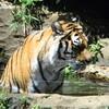 暑い日のトラ