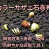 カラーサザエ石巻貝の飼育方法・餌・繁殖・寿命【美しい苔取り貝】