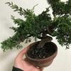 <記録用>真柏の枝抜きと植え替え
