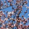 暖かさにどんどん咲く桜