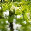 汗をふくのに使いたいくらい:ハンカチの木